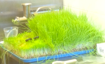 Wheatgrass king