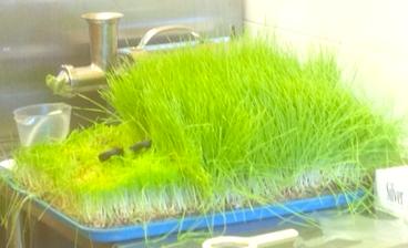 SK Wheat Grass